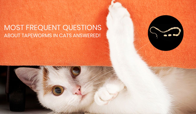 Most Frequent Questions About Tapeworms In Cats Answered!