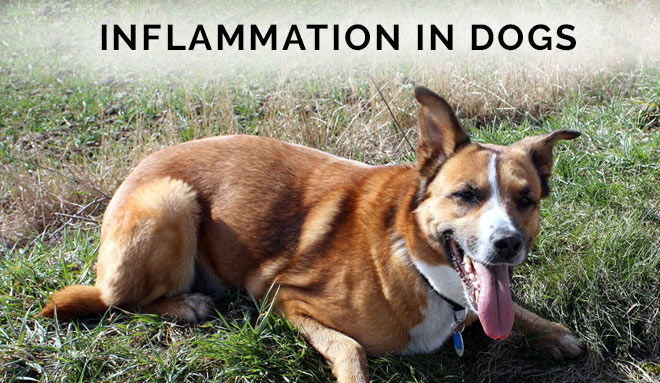 Inflammation in Dogs: How to Treat and Prevent It