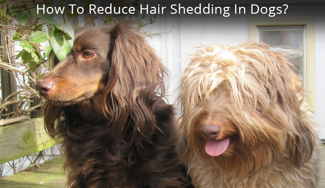hair shedding in dogs